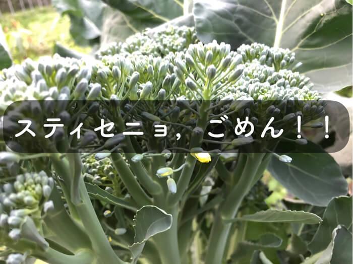 スティックセニョールの栽培