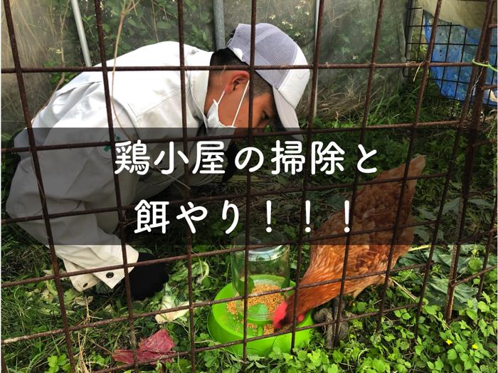 鶏小屋の掃除と餌やり