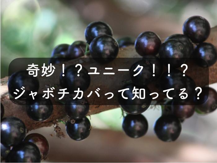 ジャボチカバの特徴と栽培の様子