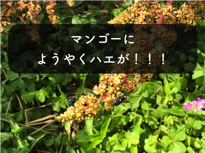 沖縄県ではマンゴーの受粉にハエを使用する