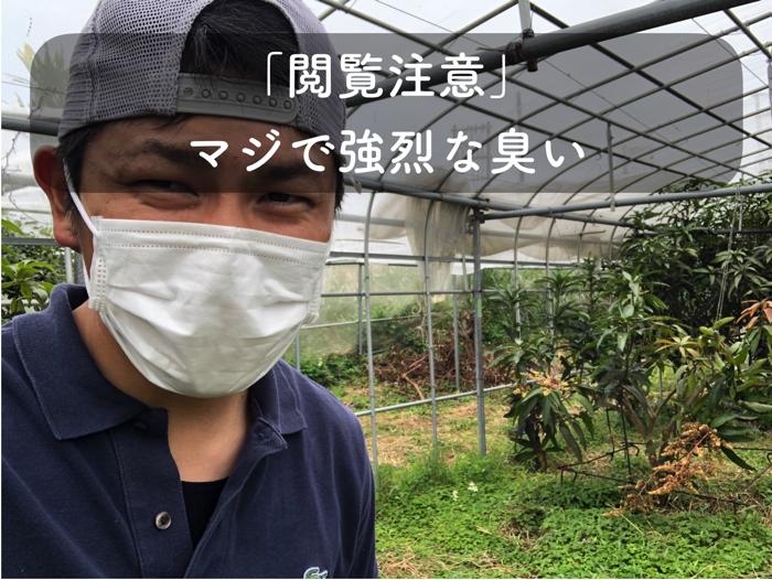 マンゴー栽培でキンバエを呼ぶために魚のアラをかけたら猛烈な匂いでした