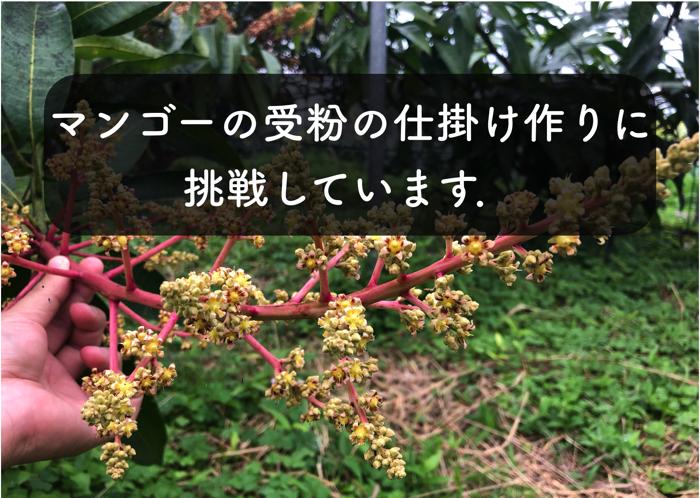 マンゴーの受粉の方法