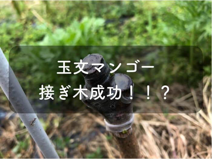 接ぎ木マンゴー成功か!!?