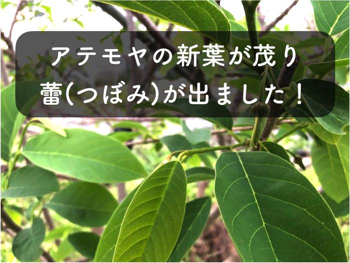 【アテモヤ栽培2】アテモヤの蕾(つぼみ)について紹介!新葉も生い茂ってきました!