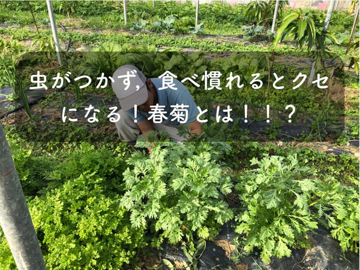虫がつきにくい,鍋の定番野菜!!「春菊」ってどんな野菜!?