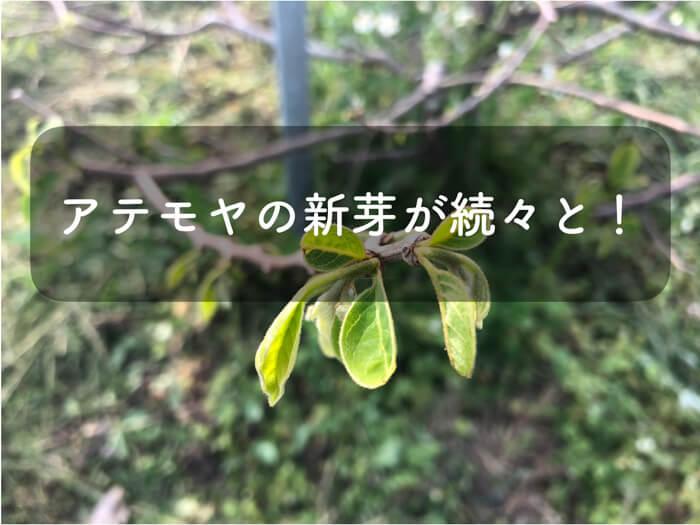 【アテモヤ栽培1】森のアイスクリーム「アテモヤ」の新芽が出てきました!剪定もしました!