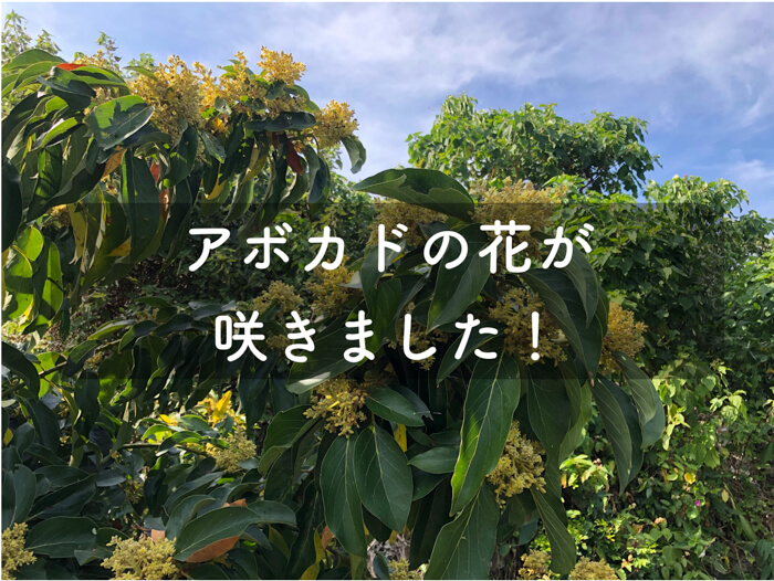 アボカドの木の花