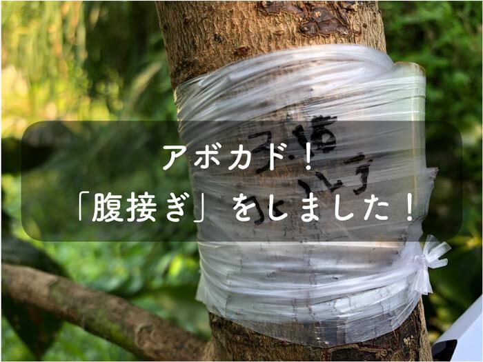 アボカドのフェルテと川平という品種の「腹接ぎ」をしました!【接ぎ木】