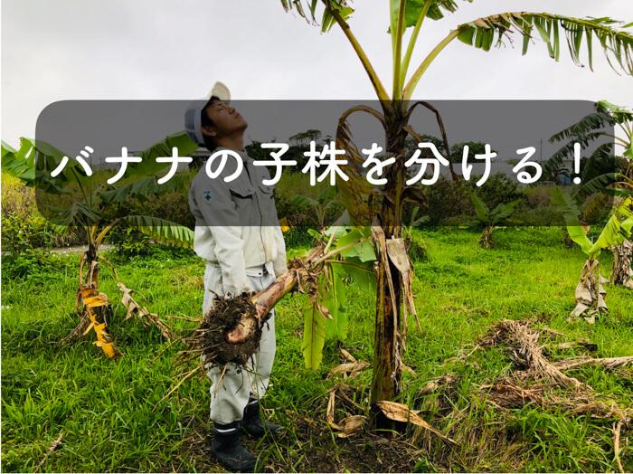 【バナナ栽培2】スコップ1本でやるバナナの株分けの方法!