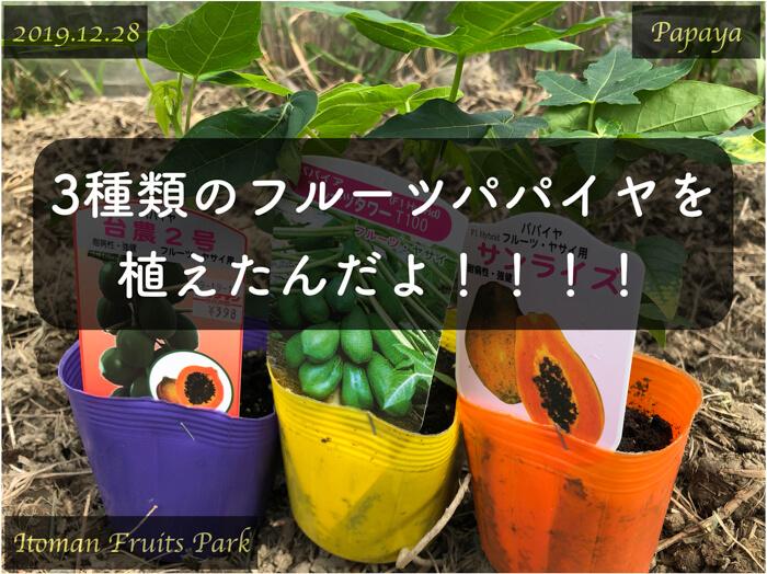 3種類の「フルーツパパイヤ」を畑に定植しました!【台農2号,フルーツタワー,サンライズ】