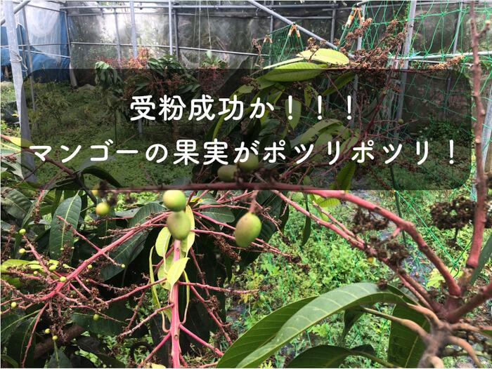 【マンゴー栽培5】4月1日!マンゴーの様子をとことん紹介!受粉成功!!果実がポツポツ実っていた!!