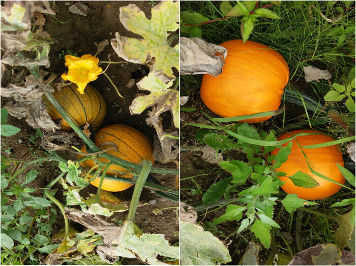 かぼちゃの成長の様子
