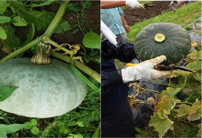 かぼちゃの収穫の様子