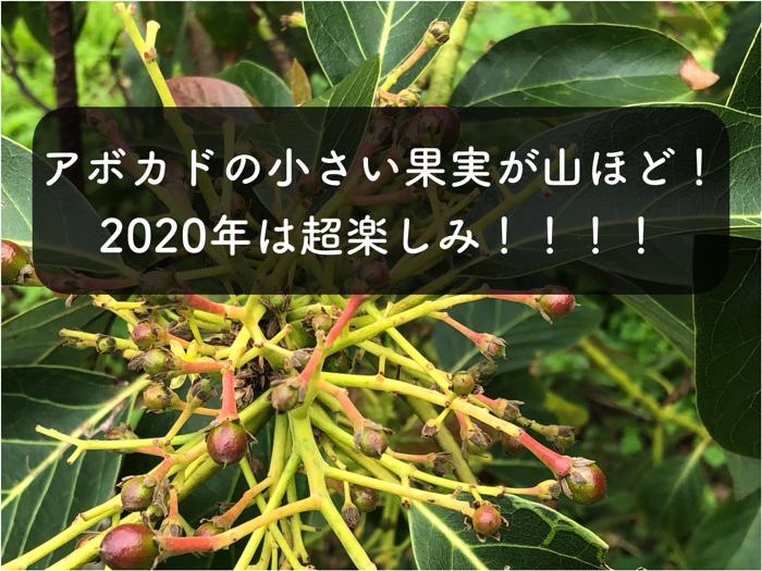 【アボカド栽培3】受粉大成功!?国産アボカドの果実がポツポツとついてきました!