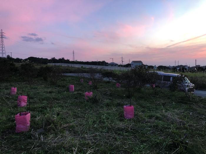 夕焼けに染まる糸満市の畑