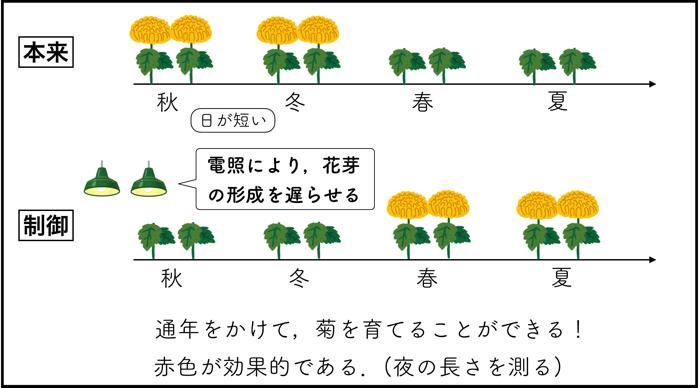 電照菊の電照の理由