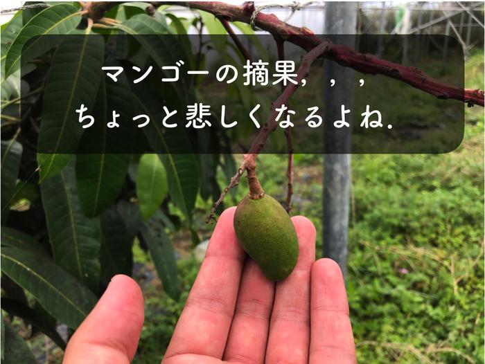 【マンゴー栽培6】マンゴーの摘果のメリットと,間引く果実を選ぶ基準!?【マンゴー摘果】