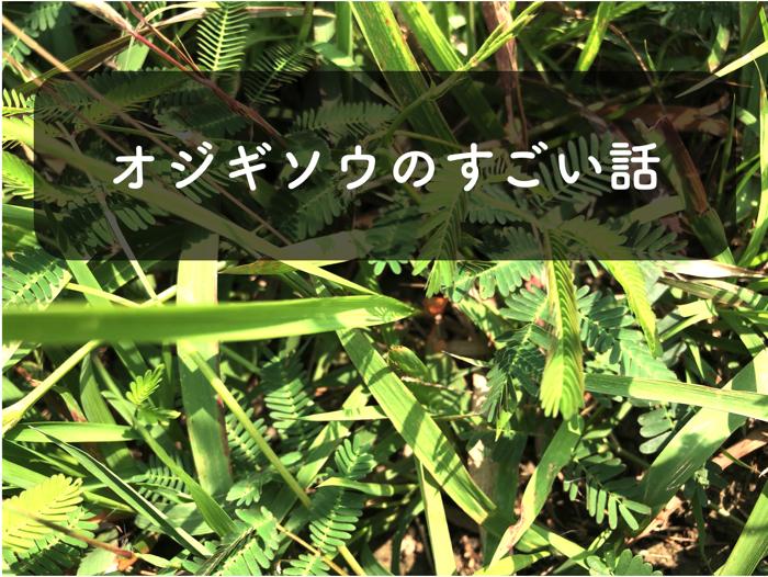 オジギソウが葉を閉じる行動が凄すぎる!【植物は触覚と記憶力が備わっている!】