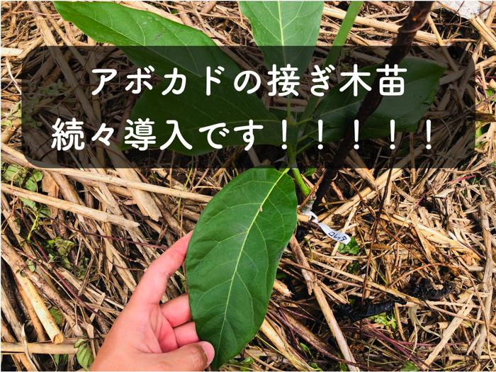 【アボカド栽培4】アボカドの新苗木,畑に続々導入しました!