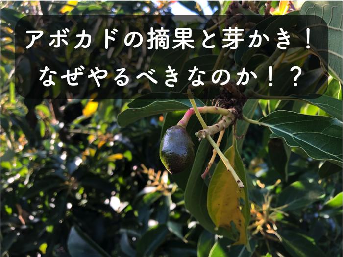 【アボカド栽培5】アボカドの「摘果」と「芽かき」をする理由や,やり方について,実践しながらご紹介!