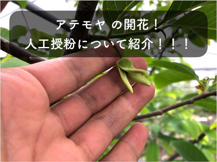 【アテモヤ栽培3】アテモヤの人工授粉(自家受粉)のやり方について解説!【写真盛りだくさん】
