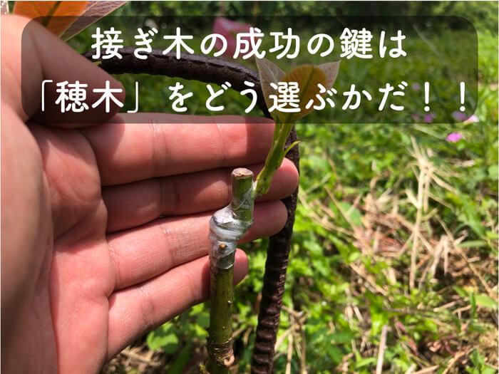 【アボカド栽培6】アボカドの接ぎ木に使用する「穂木」の選び方を解説!!接ぎ木を100本以上やって分かった!