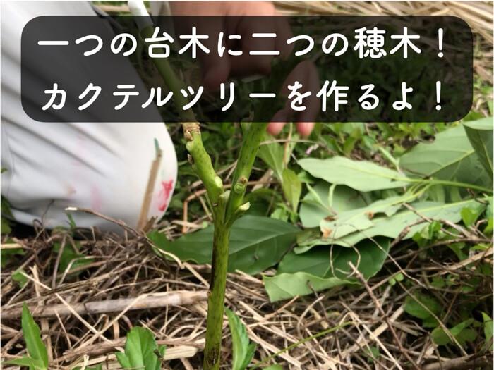 【アボカド栽培9】ダブル穂木で,カクテルツリーに挑戦してみる!