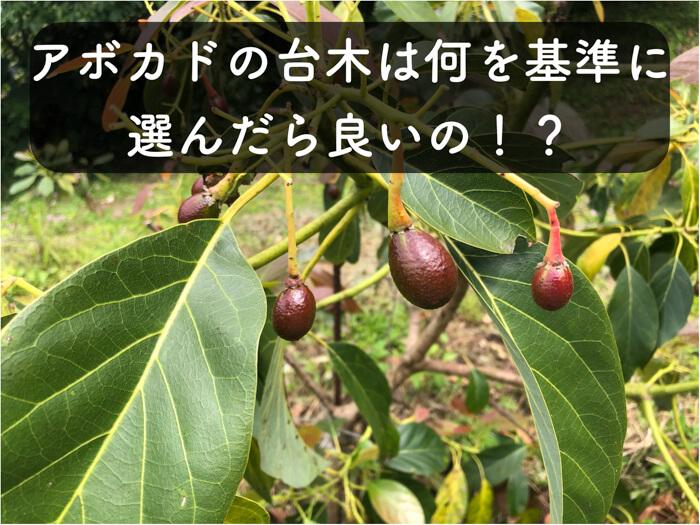 【アボカド栽培7】アボカドの台木は何を基準に選んだら良いの!?論文の紹介もかねて!