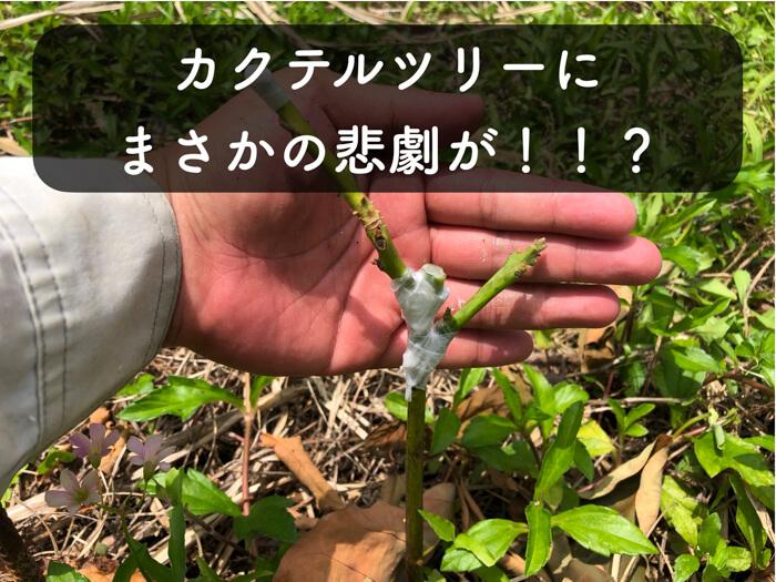 【アボカド栽培11】カクテルツリーの悲劇!!?穂木が落ちたので接ぎ直しました!