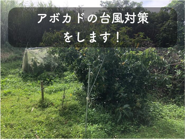 【アボカド栽培12】台風対策を行います!杭に木を縛ったり,枝が暴れないように下方誘引したり!