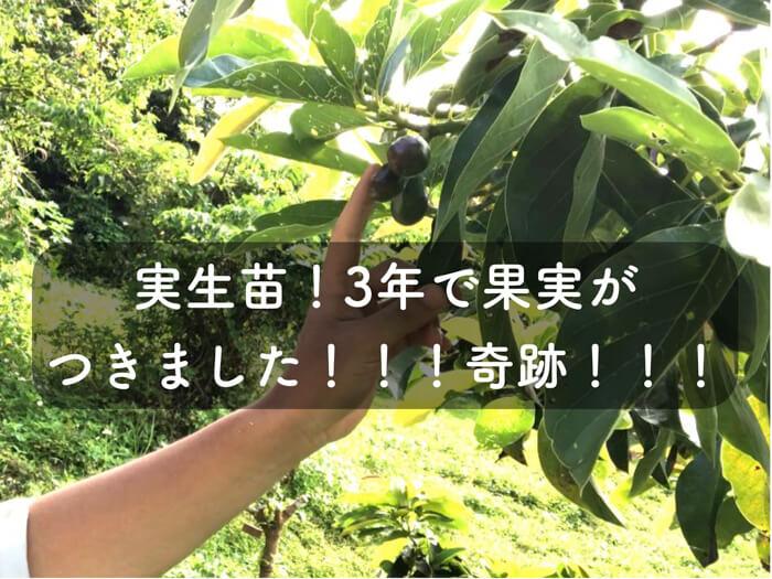 【アボカド栽培13】驚異的!!!種から育てたアボカドの実生苗が3年で果実をつけた!