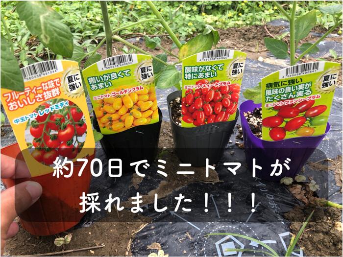 【トマト】約70日で収穫したファンシープラム,スイートプラム,レッドミディの味について紹介!