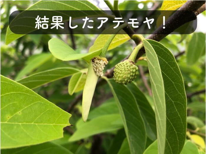 【アテモヤ栽培4】人工授粉成功か!?結果しているものを発見しました!