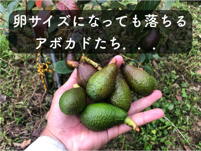 【アボカド栽培14】卵サイズでも「ガンガン落下」するアボカドたちを紹介します!【生理落果】