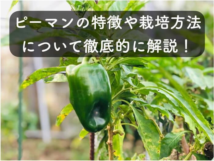 トウガラシ属の仲間!?ピーマンの特徴や含まれる栄養素について解説!