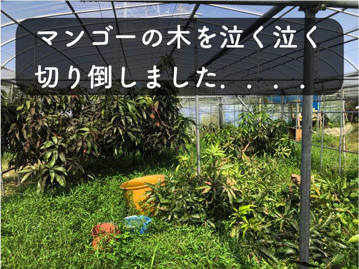 【マンゴー栽培7】マンゴーの木を10本ほど,泣く泣く切り倒しました!【すす病】