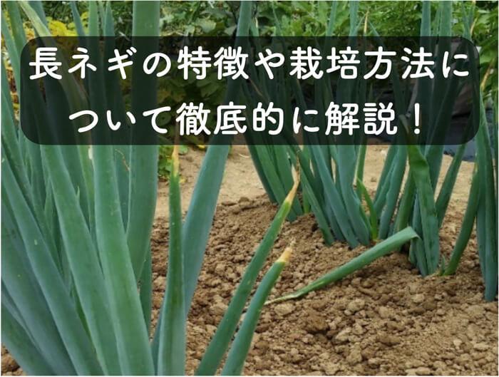 万能素材の「長ネギ」の特徴や栽培方法について解説!土寄せが鍵!!
