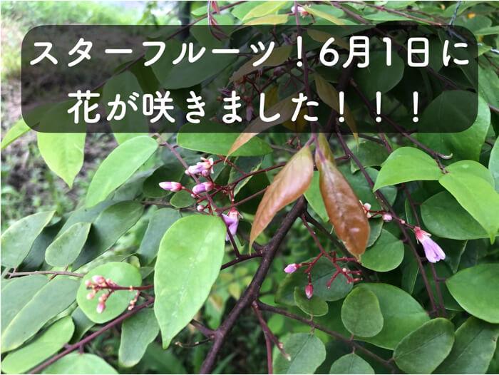 【スターフルーツ栽培2】6月1日に,スターフルーツの花が咲いているのを確認しました!!