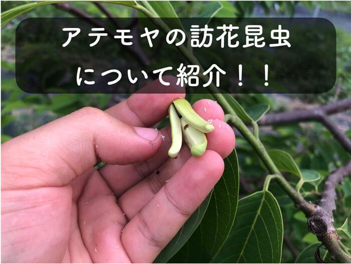 【アテモヤ栽培5】アテモヤの花の中にクリイロデオキスイが!受粉してくれているのかな!?