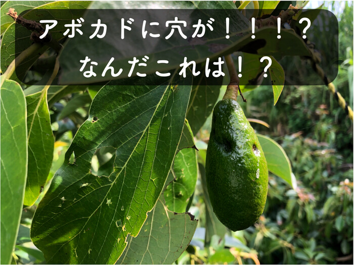 【アボカド栽培15】ミナミトゲヘリカメムシに被害が発生!!アボカドに穴があく!!!