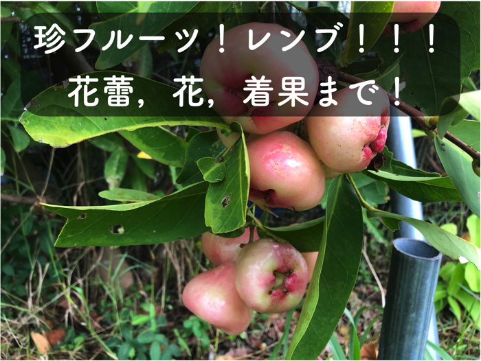 【レンブ栽培1】レンブの花蕾から花,着果までの一連の様子を公開します!