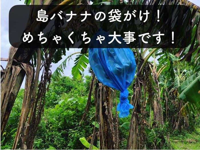 【バナナ栽培3】袋がけをして病害虫や太陽,雨よけをしよう!