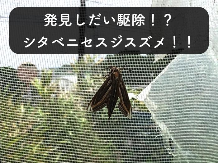 【害虫】シタベニセスジスズメが畑に出現!速攻で捕殺!