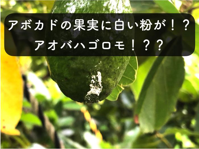 【アボカド栽培17】アボカドの果実に白い粉が!!?アオバハゴロモの仕業か!?
