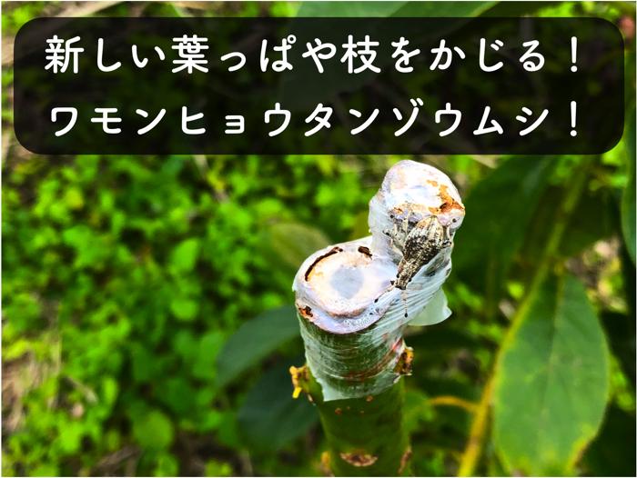【アボカド栽培18】若い葉っぱや新梢を食害する「ワモンヒョウタンゾウムシ」に気をつけよう!