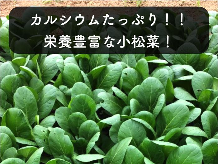 カルシウムたっぷりの小松菜!栄養価の高い緑黄色野菜!特徴から栽培方法まで解説!