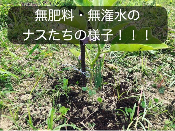 【自然栽培】無肥料・無潅水で育てた白ナス(イタリアナス)がかなり良好です!