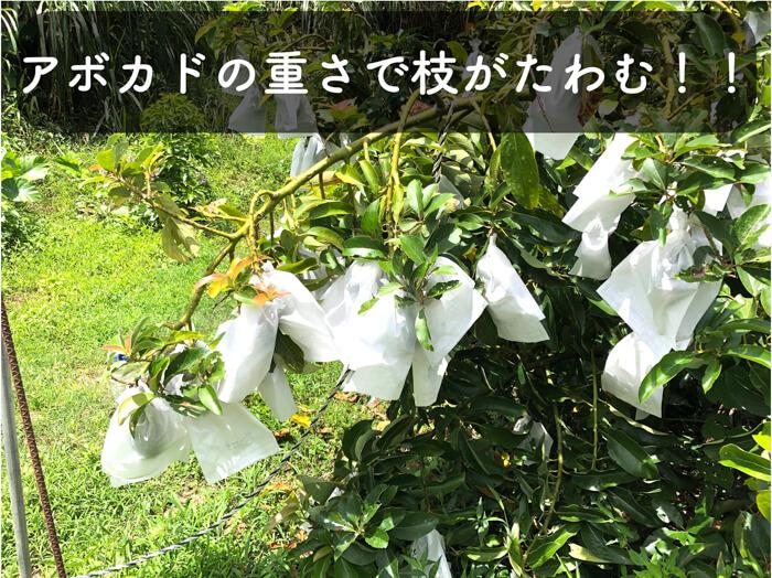 【アボカド栽培19】枝が垂れ下がるほど果実がなりすぎたので,上方向誘引!