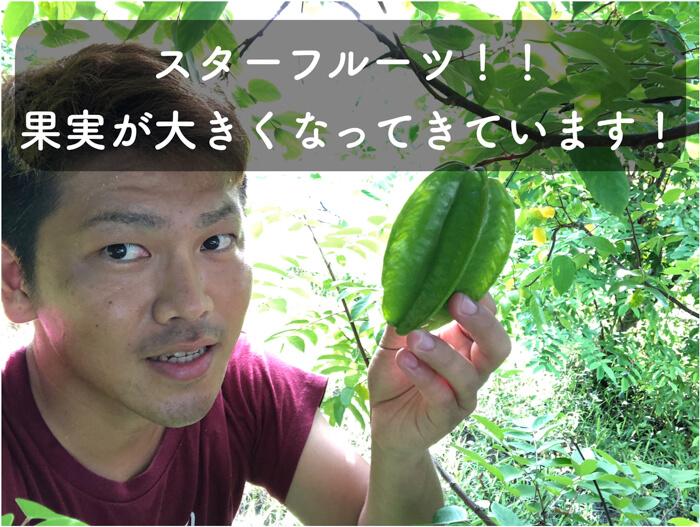【スターフルーツ栽培3】2020年7月,第一弾の果実が結果し,肥大化が確認されました!