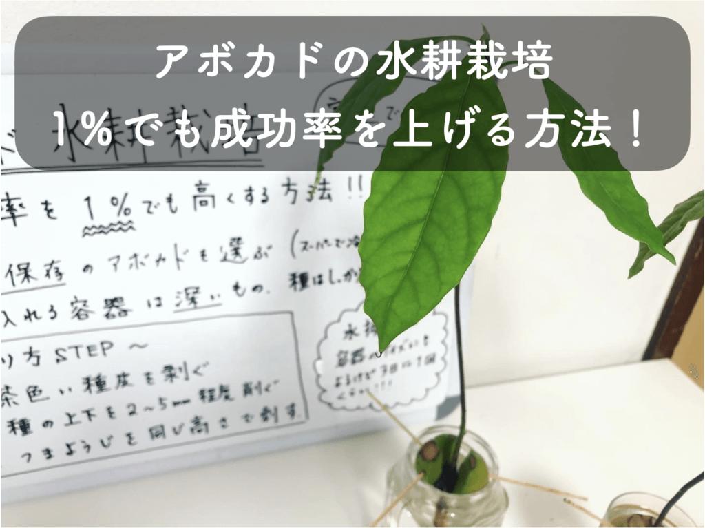 アボカドの水耕栽培の方法について徹底的に解説【スーパーで買ってきたアボカドの種を使う方法!】